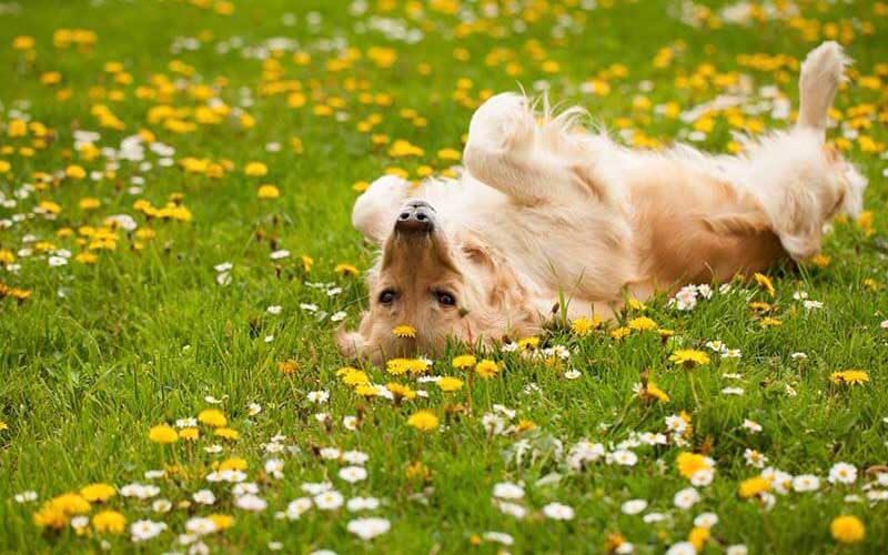 relaxing dog on the field